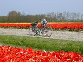 BICYCLE AND TULIPS