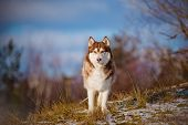 image of husky sled dog breeds  - beautiful brown siberian husky dog portrait outdoors