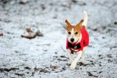 foto of jack russell terrier  - Parson Jack Russell in bright red winter coat running at full speed towards the camera in the snow - JPG