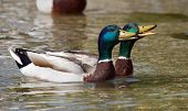 image of male mallard  - Two male mallard or wild ducks  - JPG