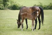 picture of foal  - Mare and her foal in meadow. Foal with a mare on a summer pasture