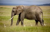 image of coexist  - Elephant walking in Amboseli with four cattle egrets - JPG