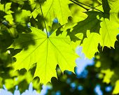 stock photo of maple tree  - Bright green leaves of the maple tree in the sunshine - JPG