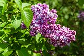 image of lilac bush  - Lilac bush with green leaf and purple flowers in summer. ** Note: Shallow depth of field - JPG