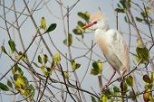 picture of cattle breeding  - A Cattle Egret  - JPG
