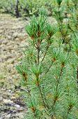 Постер, плакат: Siberian Dwarf Pine In Yakutian Taiga