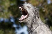 picture of gentle giant  - An Irish Wolfhound spending a casual day at the park - JPG