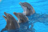 stock photo of bottlenose dolphin  - Funny Dolphins Swimming on a very Blue Water