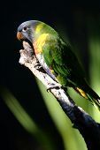 stock photo of lorikeets  - A close up shot of an Australian Rainbow Lorikeet - JPG