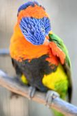 picture of lorikeets  - A close up shot of an Australian Rainbow Lorikeet - JPG