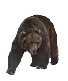 picture of grizzly bear  - Watercolor Digital Painting Of  Grizzly Bear Isolated On White Background - JPG