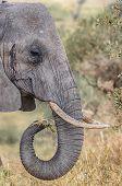 "foto of behemoth  - ""Snack Time"", Close up of an elephant eating in Tarangire National Park, Manyara, Tanzania, Africa. - JPG"