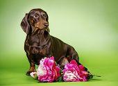 image of dachshund dog  - dog breed Dachshund colored background with flowers - JPG