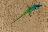 foto of lizards  - A two coloured lizard with a very long tail - JPG
