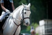 image of girth  - children dressage - JPG