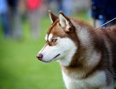 foto of husky sled dog breeds  - siberian husky on a dog show in summer - JPG