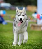 pic of husky sled dog breeds  - siberian husky on a dog show in summer - JPG
