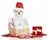 foto of puppy christmas  - Funny Maltese puppy in basket - JPG