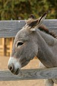 stock photo of jack-ass  - Donkey portrait by the wooden fence - JPG