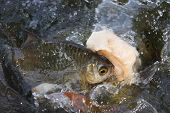 foto of fresh water fish  - fish bite bread in fresh water pool - JPG