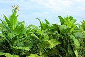 pic of snuff  - growing tobacco on a field in Poland - JPG