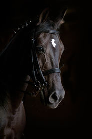 picture of horse-riders  - purebred dressage horse on a black close up - JPG
