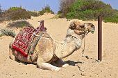 stock photo of dromedaries  - Resting dromedary also called the Arabian camel  - JPG