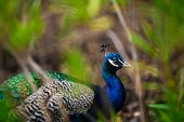 stock photo of peahen  - Portrait of a peacock through green leaves - JPG