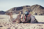 foto of hump day  - beautiful camel in the big desert of Egypt - JPG