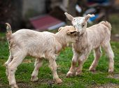 picture of baby goat  - Cute baby goats playing on a pasture - JPG