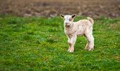 stock photo of baby goat  - Cute baby goat on a pasture with lots of copyspace - JPG