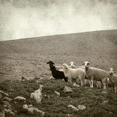 picture of sheep  - textured old paper background with landscape of Fuerteventura and sheep - JPG