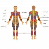 picture of male body anatomy  - vector muscular human body - JPG