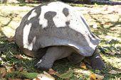 stock photo of tortoise  - Aldabra giant tortoise in island Curieuse - JPG