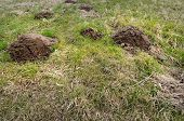 foto of mole  - Damaged park grass by mole destructive environment problem - JPG