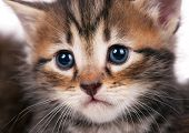 pic of sad eyes  - Portrait of cute siberian kitten with sad eyes over white background close - JPG