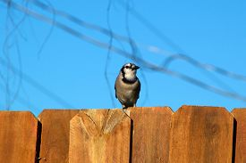 picture of stockade  - A Blue jay is perched on the top of a stockade fence against a blur sky and is looking to the right - JPG