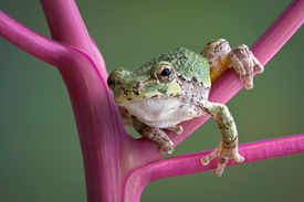 pic of pokeweed  - A baby grey tree frog is leaning forward while sitting on a pokeweed plant - JPG