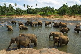 image of indian elephant  - Heard of adult indian elephants bathing in water - JPG