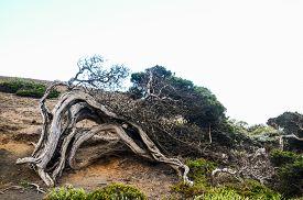picture of juniper-tree  - Gnarled Juniper Tree Shaped By The Wind at El Sabinar - JPG