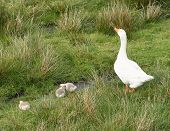 pic of mother goose  - goose family mother with chicks in field - JPG