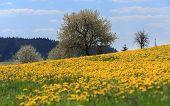 Постер, плакат: Field Of Spring Flowers Dandelions