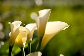 picture of arum lily  - Close up Calla Lily with black background for background use - JPG