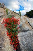 Red Wildflowers On Granite