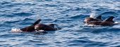 stock photo of porpoise  - School of pilot whales with young ones - JPG