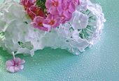 Pink And White Phlox Background Raindrops For Holiday Weddings Greetings Floral Botanical Flower.  C poster