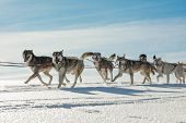A Team Of Four Husky Sled Dogs Running On A Snowy Wilderness Road. Sledding With Husky Dogs In Winte poster