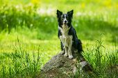 Adorable Young Black And White Border Collie Dog Sitting On A Piece Of Rock, Open Mouth, Green Grass poster