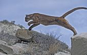 foto of mountain lion  - Cougar leaping from large rock in North Dakota Badlands