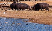 foto of sub-saharan  - hippopotamus  - JPG